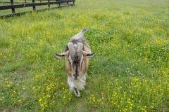 Волосатая коричневая коза идет к фотографу стоковое фото rf