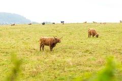 Волосатая корова в гористых местностях, Шотландия scottish Стоковое Изображение RF