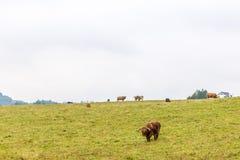 Волосатая корова в гористых местностях, Шотландия scottish Стоковые Изображения