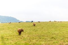 Волосатая корова в гористых местностях, Шотландия scottish Стоковое фото RF