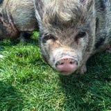 волосатая свинья стоковые фотографии rf