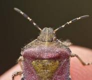 Волосатое Shieldbug Великобритания - макрос стоковое фото