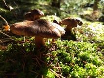 Волосатые крышки гриба в поле мха Стоковые Фото