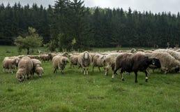 Волосатые овцы на зеленом луге 45 Стоковое Фото