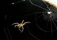 Волосатый паук идя на сеть Стоковое Изображение RF