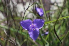 Волосатый spiderwort стоковая фотография