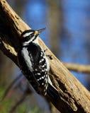волосатый woodpecker Стоковые Изображения
