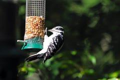волосатый woodpecker Стоковые Фотографии RF