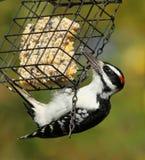 волосатый woodpecker Стоковые Изображения RF