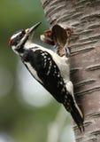 волосатый woodpecker стоковое изображение rf
