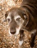волосы собаки серые старые стоковое изображение rf