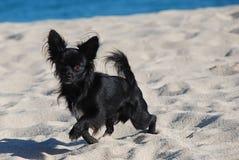 волосы чихуахуа пляжа черные длиной Стоковое Изображение RF