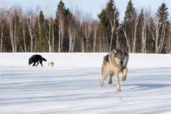 Волчанка волка серого волка бежит вперед другие волки в предпосылке стоковые фотографии rf