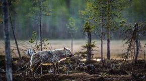 Волчанка волка серого волка стоковые изображения