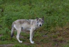 Волчанка волка волка тимберса в летнем времени Стоковая Фотография RF