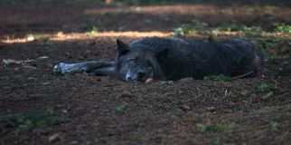 Волчанка волка волка тимберса в осени Стоковые Изображения RF