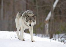Волчанка волка волка тимберса идя в снег зимы Стоковые Фотографии RF