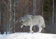 Волчанка волка волка тимберса идя в снег зимы Стоковые Фото
