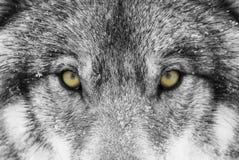 Волчанка волка волка тимберса с желтым цветом наблюдает крупный план в снеге зимы Стоковая Фотография RF