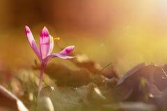 Волшебный взгляд весны конца-вверх зацветая цветет крокус в изумительном солнечном свете Стоковая Фотография