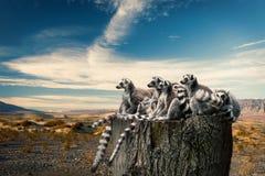 Волшебный взгляд на лемурах Стоковые Фото