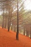 Волшебный и Fairy лес кедра с сильным туманом на ноге Mou Стоковое Изображение RF