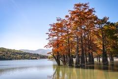 Волшебство distichum Taxodium кипариса болота появляется осенью Красные и оранжевые иглы кипариса отражены в бирюзе стоковые изображения rf