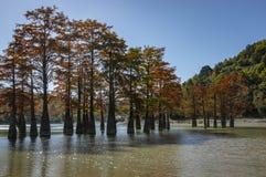 Волшебство distichum Taxodium кипариса болота появляется осенью Красные и оранжевые иглы кипариса отражены в бирюзе стоковое фото rf