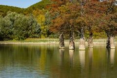 Волшебство distichum Taxodium кипариса болота появляется осенью Красные и оранжевые иглы кипариса отражены стоковое изображение rf