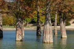 Волшебство distichum Taxodium кипариса болота появляется осенью стоковая фотография rf