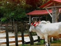 Вол в сельском районе в Коста-Рика Стоковая Фотография RF