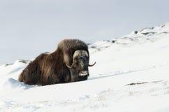 Вол мускуса в горах в зиме Стоковое Изображение RF