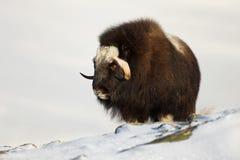 Вол мускуса стоя в снеге Стоковая Фотография RF