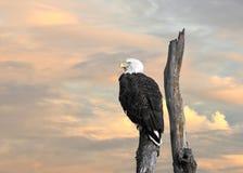 Воодушевленность белоголового орлана Стоковое Фото