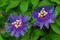 Воодушевленность пассифлоры, Passionflower воодушевленности, страсть - Flo Стоковое Изображение RF