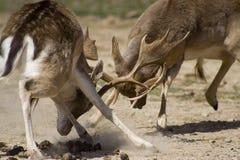 вопросы самецов оленя Стоковое фото RF