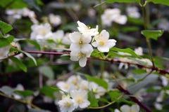 вопрос жасмина цветков разницах в предпосылки славный сезонный красотка чувствительная Фото летнего времени цвета Стоковое фото RF
