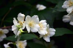 вопрос жасмина цветков разницах в предпосылки славный сезонный красотка чувствительная Фото летнего времени цвета Стоковые Фотографии RF