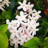 вопрос жасмина цветков разницах в предпосылки славный сезонный Стоковая Фотография