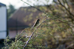 Воробей вечнозеленого дерева в скопье, македонии Стоковые Фотографии RF