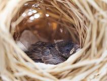 Воробей в гнезде Стоковая Фотография RF