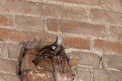 Воробей в отверстии Гнездо в стене стоковая фотография rf