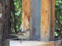 Воробей дома на деревянном фидере птицы Стоковое фото RF