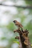 Воробей дерева птицы евроазиатский на дереве Стоковые Фотографии RF