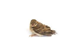 Воробей дерева птицы евроазиатский Стоковое Изображение