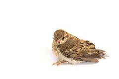 Воробей дерева птицы евроазиатский Стоковое Изображение RF