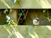 воробей загородки сидя Стоковая Фотография RF