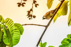 Воробей когда птицы возвращают Свободная domesticus проезжего установленная Стоковые Фотографии RF