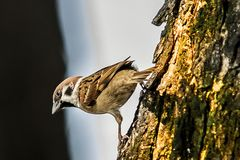 Воробей когда птицы возвращают Свободная domesticus проезжего установленная Стоковые Фото