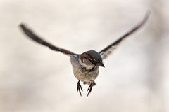 воробей летания Стоковая Фотография